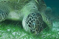 BD-140320-Baiicasag-2848-Chelonia-mydas-(Linnaeus.-1758)-[Green-sea-turtle.-Grön-havssköldpadda].jpg
